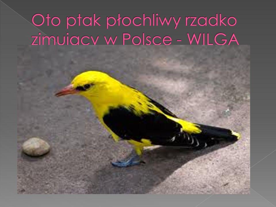 Oto ptak płochliwy rzadko zimujący w Polsce - WILGA