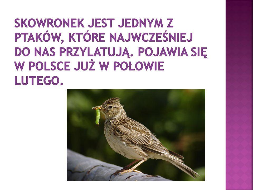 skowronek jest jednym z ptaków, które najwcześniej do nas przylatują