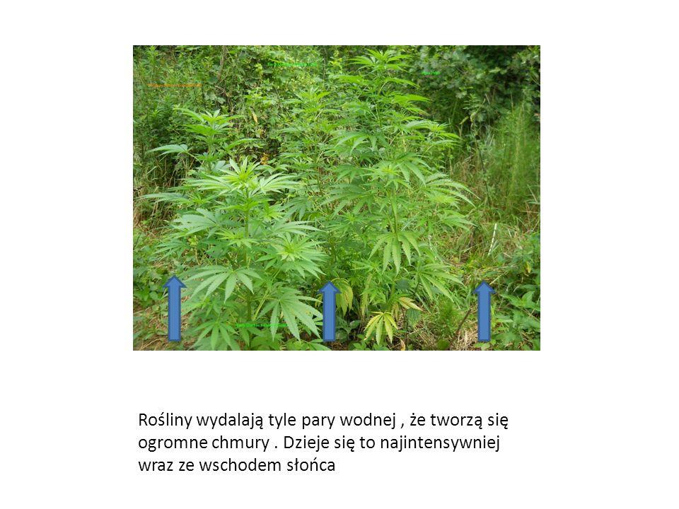 Rośliny wydalają tyle pary wodnej , że tworzą się ogromne chmury