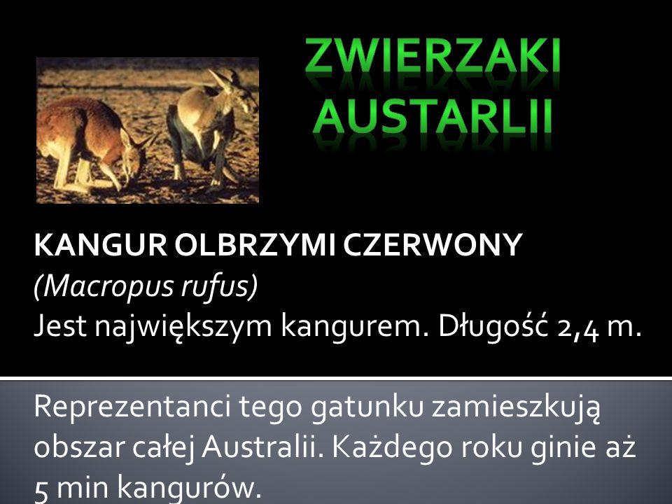 Zwierzaki Austarlii KANGUR OLBRZYMI CZERWONY (Macropus rufus)