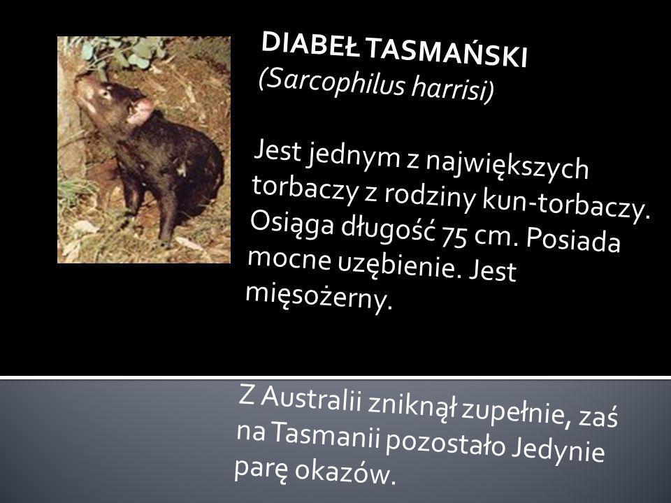 DIABEŁ TASMAŃSKI (Sarcophilus harrisi)