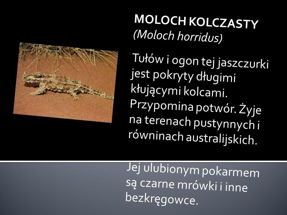 MOLOCH KOLCZASTY (Moloch horridus)