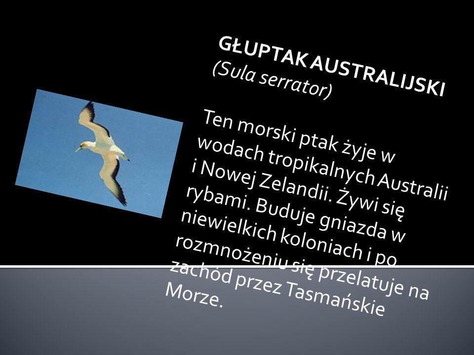 GŁUPTAK AUSTRALIJSKI (Sula serrator)