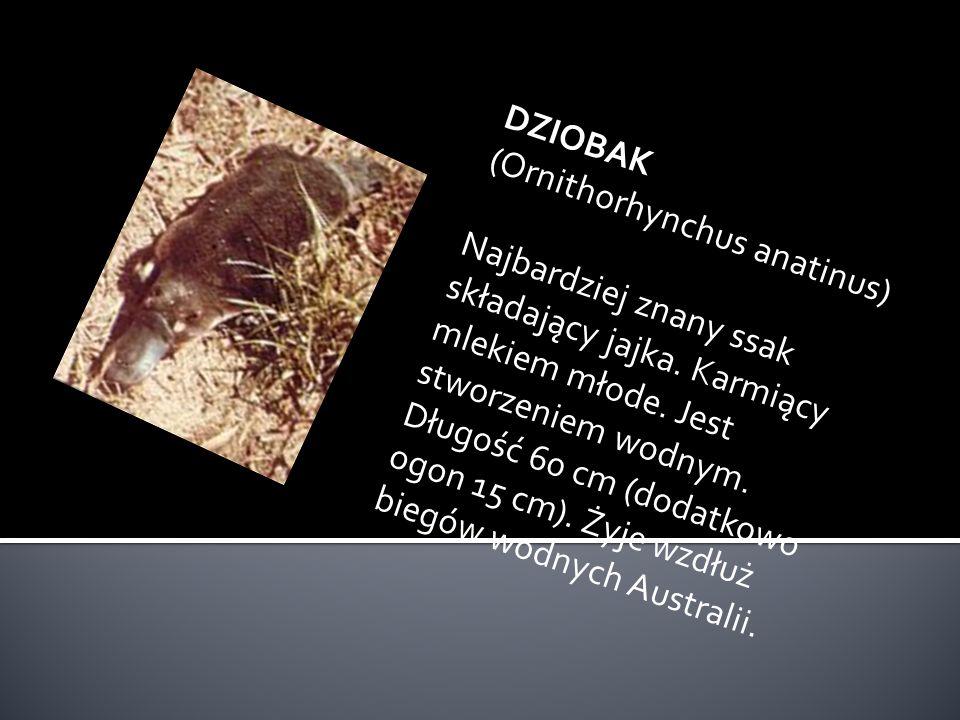 DZIOBAK (Ornithorhynchus anatinus)