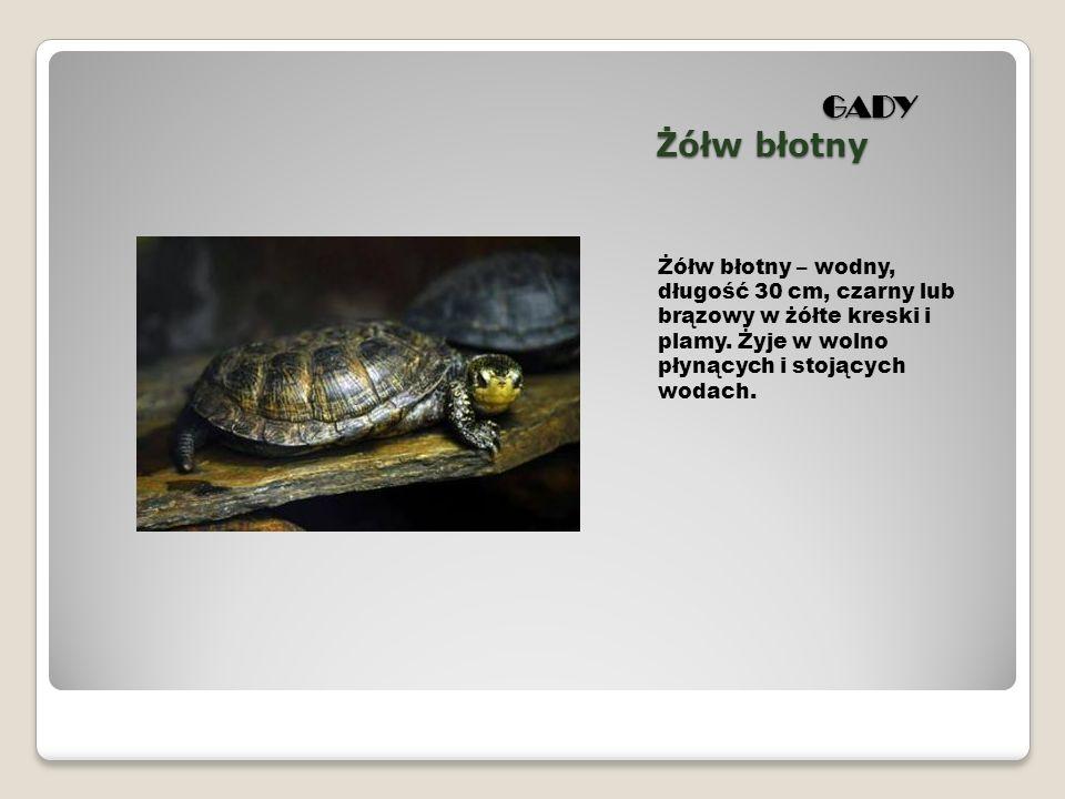 GADY Żółw błotny Żółw błotny – wodny, długość 30 cm, czarny lub brązowy w żółte kreski i plamy.