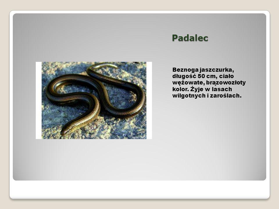 Padalec Beznoga jaszczurka, długość 50 cm, ciało wężowate, brązowozłoty kolor.