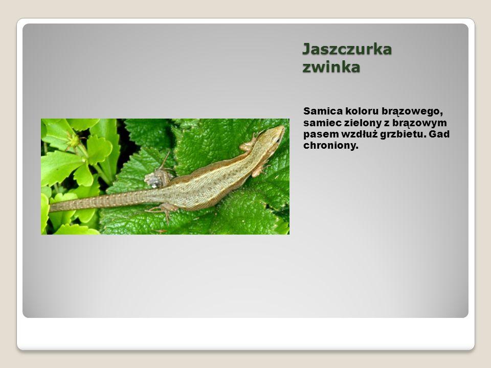 Jaszczurka zwinka Samica koloru brązowego, samiec zielony z brązowym pasem wzdłuż grzbietu.