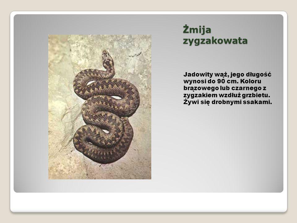 Żmija zygzakowata Jadowity wąż, jego długość wynosi do 90 cm.