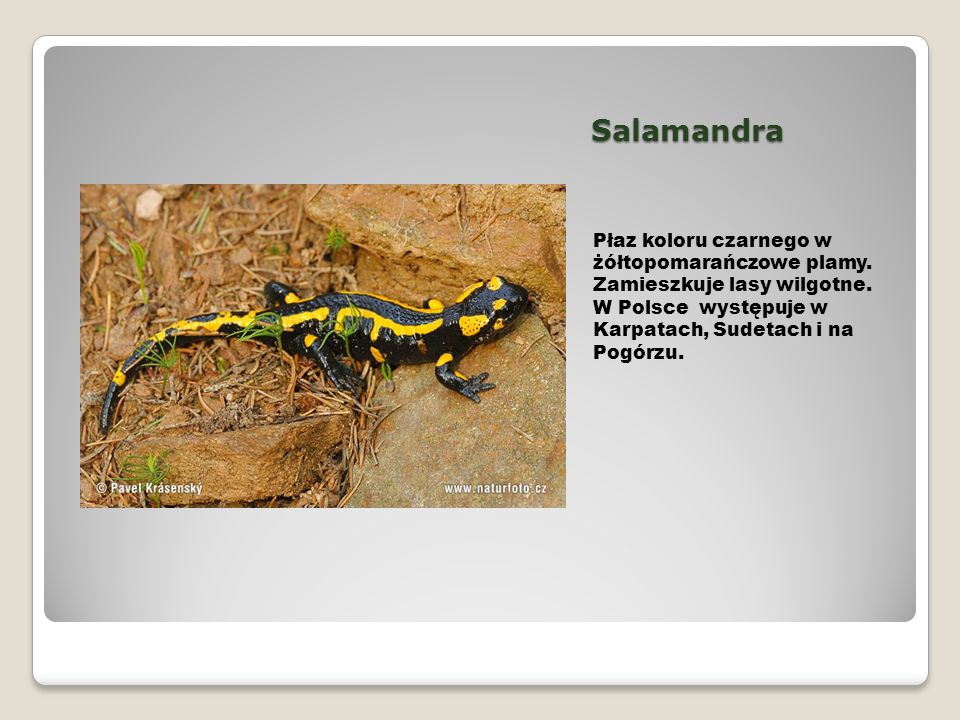 Salamandra Płaz koloru czarnego w żółtopomarańczowe plamy.