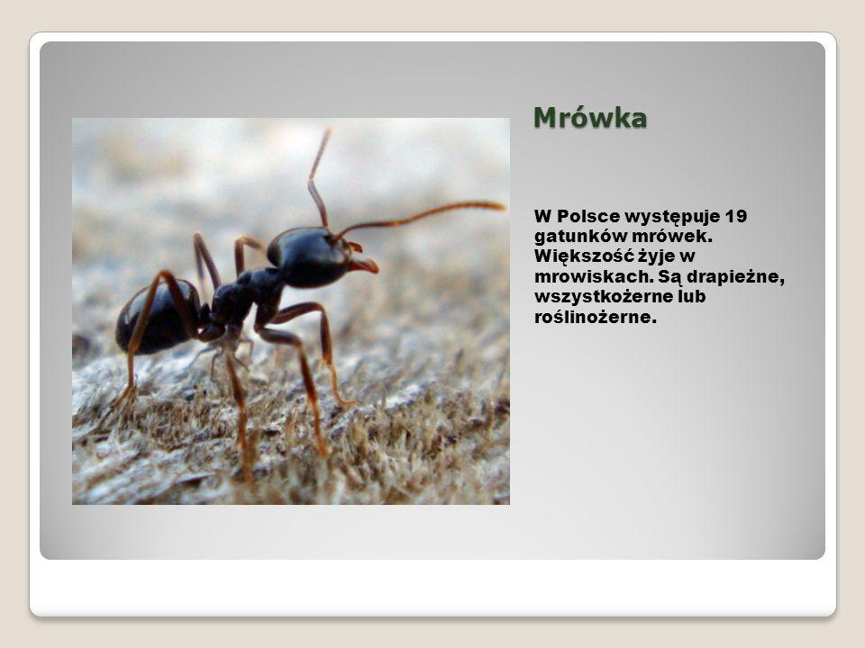 Mrówka W Polsce występuje 19 gatunków mrówek. Większość żyje w mrowiskach.