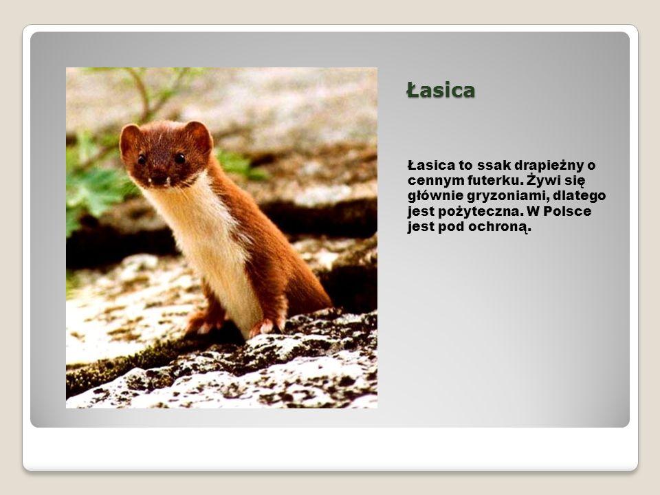 Łasica Łasica to ssak drapieżny o cennym futerku.