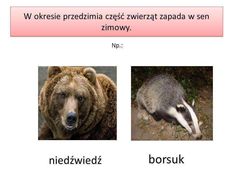 W okresie przedzimia część zwierząt zapada w sen zimowy.