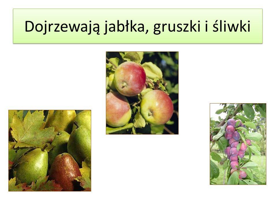 Dojrzewają jabłka, gruszki i śliwki