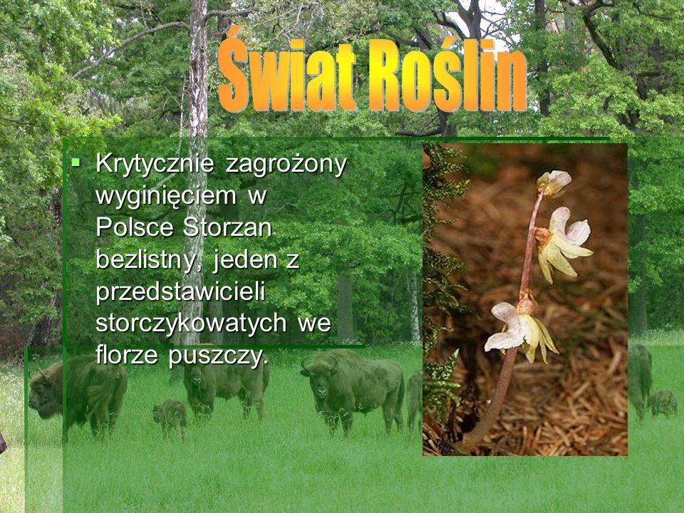 Świat Roślin Krytycznie zagrożony wyginięciem w Polsce Storzan bezlistny, jeden z przedstawicieli storczykowatych we florze puszczy.