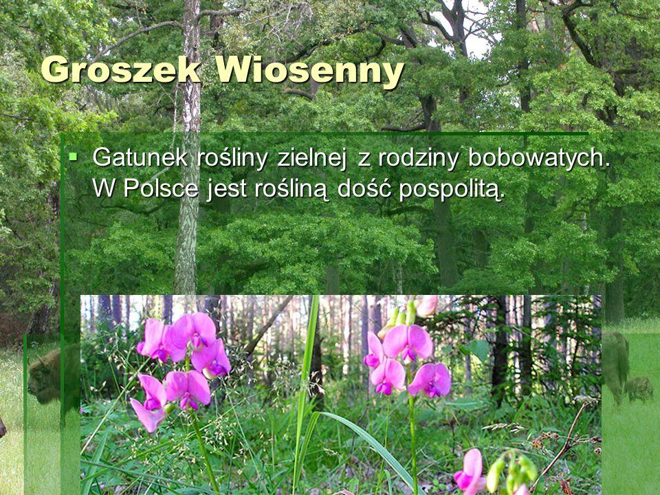 Groszek Wiosenny Gatunek rośliny zielnej z rodziny bobowatych.