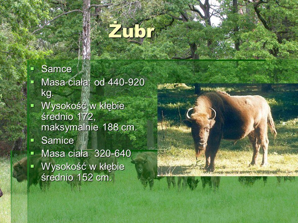 Żubr Samce Masa ciała: od 440-920 kg.