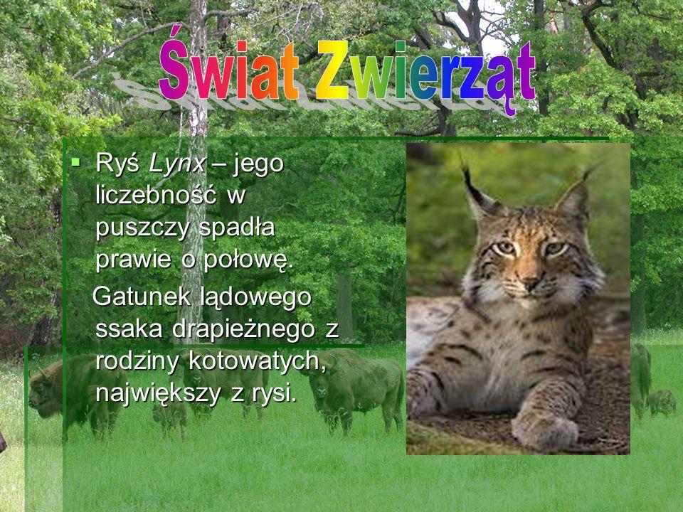 Świat Zwierząt Ryś Lynx – jego liczebność w puszczy spadła prawie o połowę.