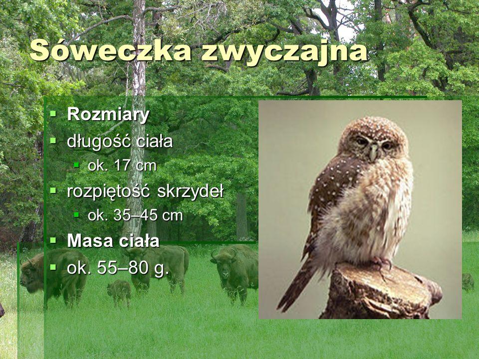 Sóweczka zwyczajna Rozmiary długość ciała rozpiętość skrzydeł