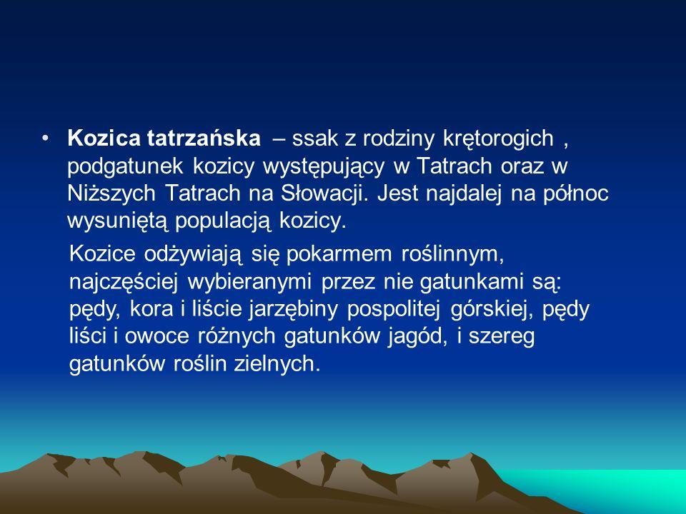 Kozica tatrzańska – ssak z rodziny krętorogich , podgatunek kozicy występujący w Tatrach oraz w Niższych Tatrach na Słowacji. Jest najdalej na północ wysuniętą populacją kozicy.