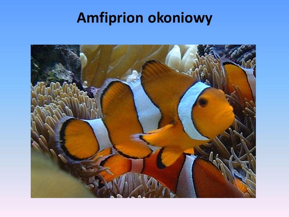 Amfiprion okoniowy