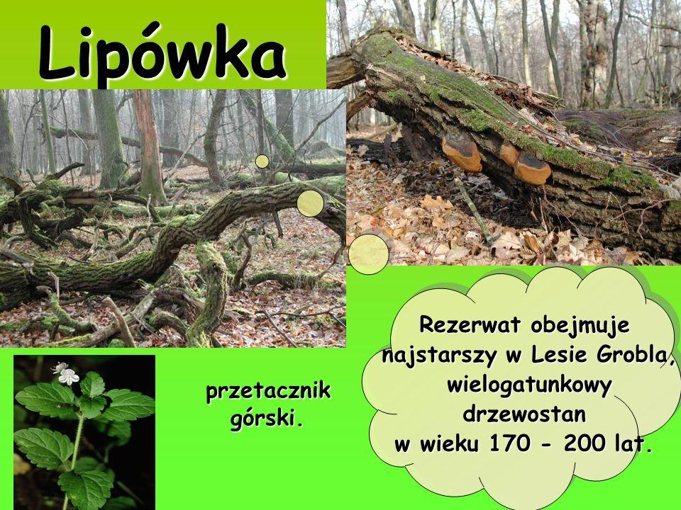 najstarszy w Lesie Grobla,