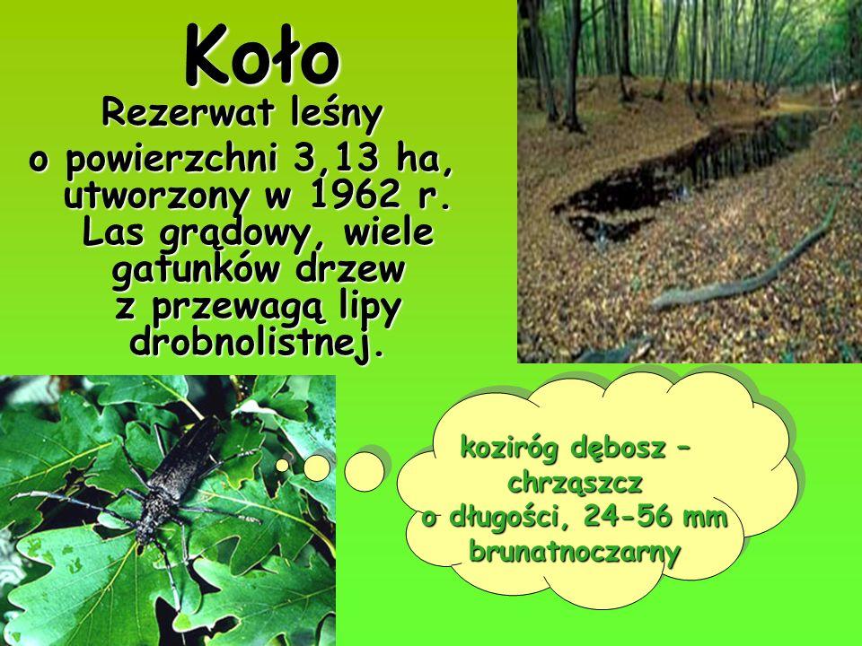 chrząszcz o długości, 24-56 mm brunatnoczarny