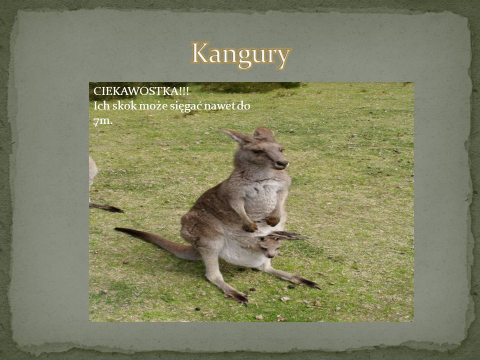 Kangury CIEKAWOSTKA!!! Ich skok może sięgać nawet do 7m.