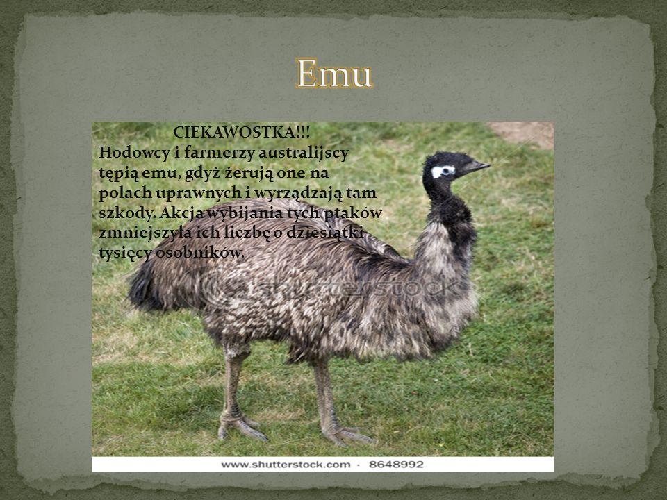 Emu CIEKAWOSTKA!!!