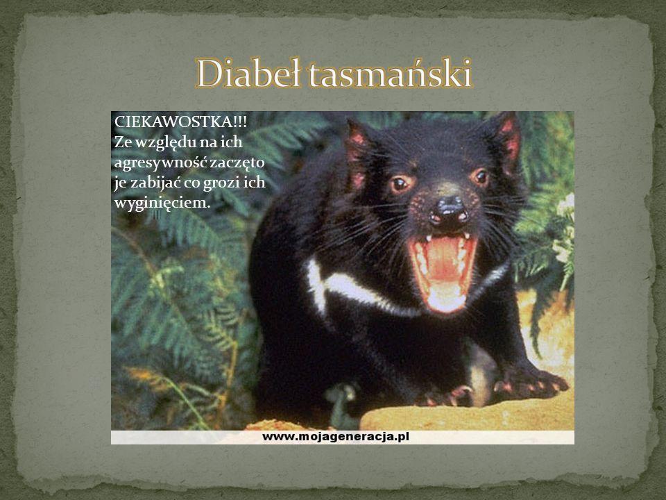 Diabeł tasmański CIEKAWOSTKA!!!
