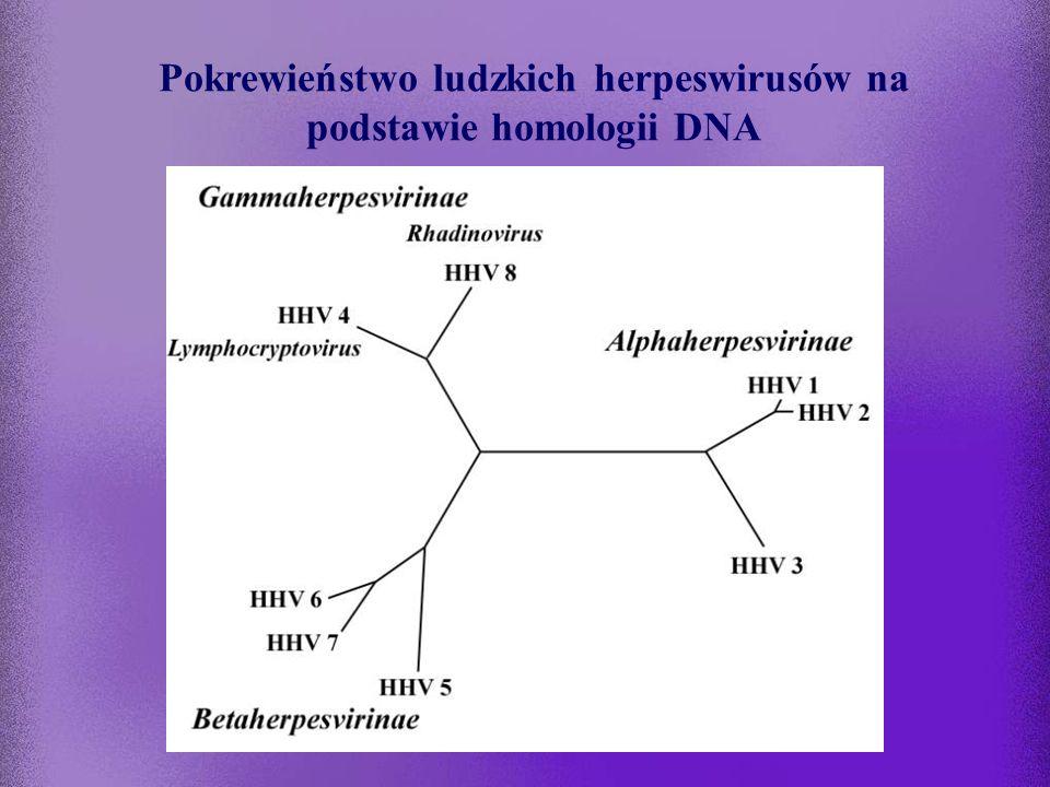 Pokrewieństwo ludzkich herpeswirusów na podstawie homologii DNA