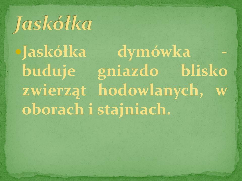 Jaskółka Jaskółka dymówka - buduje gniazdo blisko zwierząt hodowlanych, w oborach i stajniach.