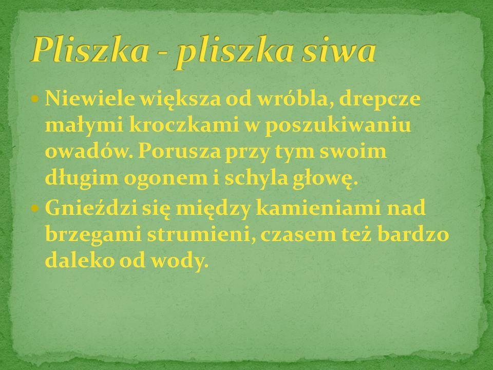 Pliszka - pliszka siwa