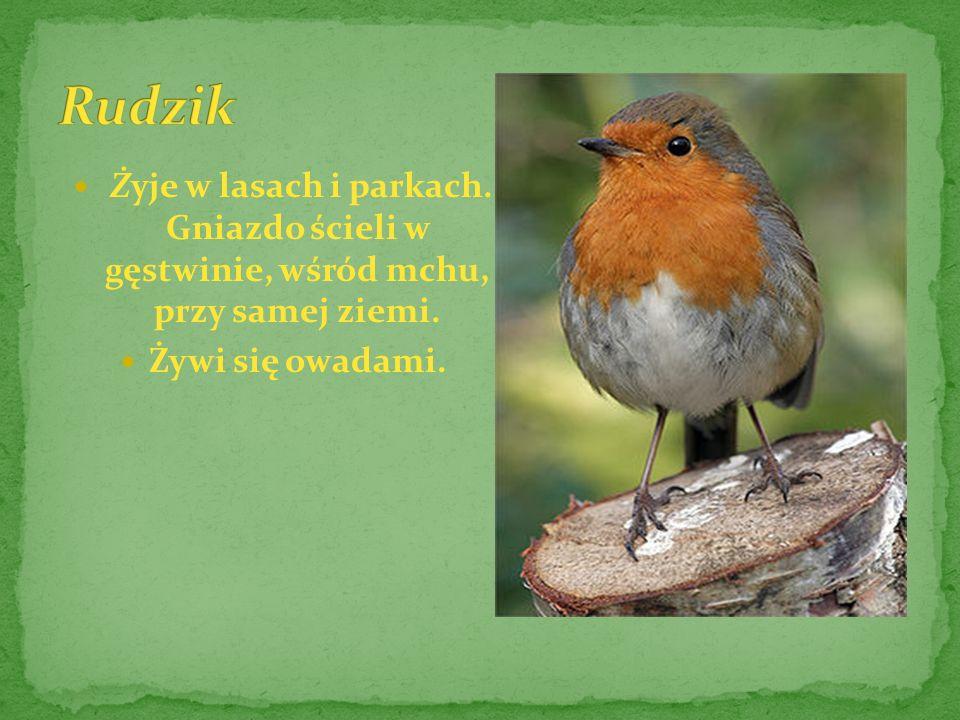 Rudzik Żyje w lasach i parkach. Gniazdo ścieli w gęstwinie, wśród mchu, przy samej ziemi.