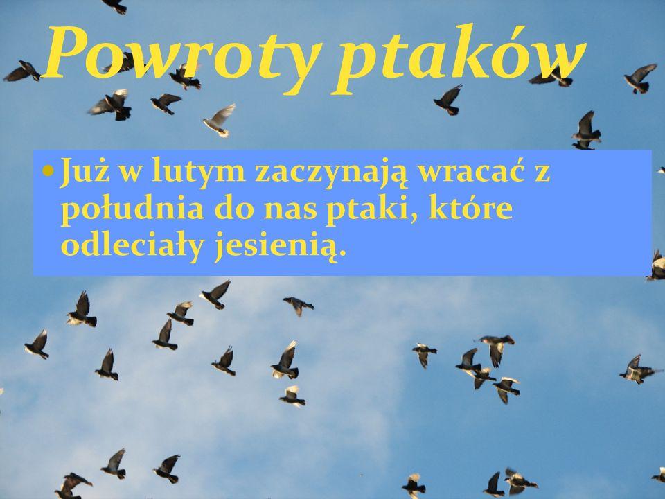 Powroty ptaków Już w lutym zaczynają wracać z południa do nas ptaki, które odleciały jesienią.
