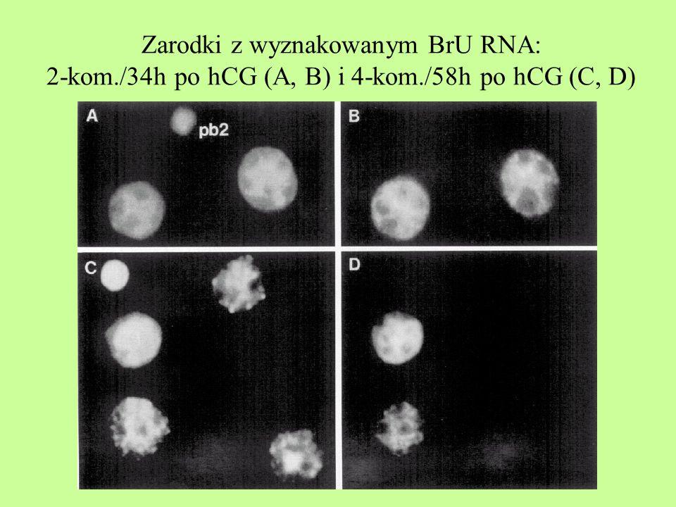 Zarodki z wyznakowanym BrU RNA: 2-kom. /34h po hCG (A, B) i 4-kom
