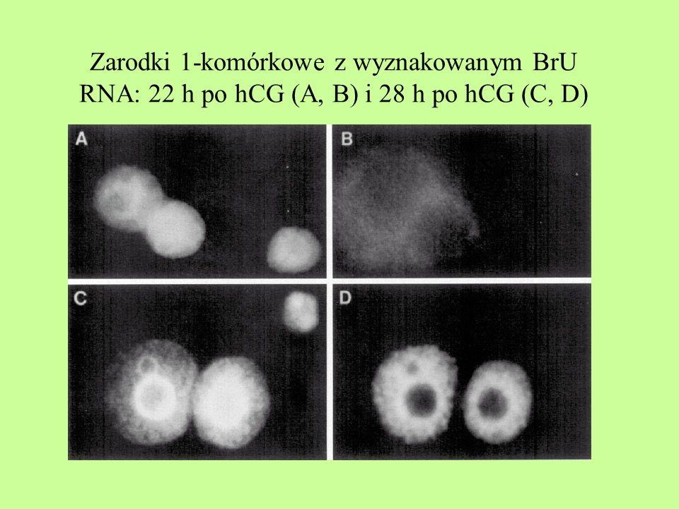 Zarodki 1-komórkowe z wyznakowanym BrU RNA: 22 h po hCG (A, B) i 28 h po hCG (C, D)