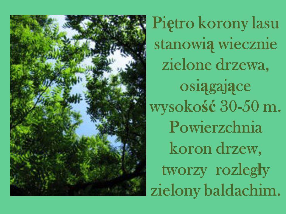 Piętro korony lasu stanowią wiecznie zielone drzewa, osiągające wysokość 30-50 m.