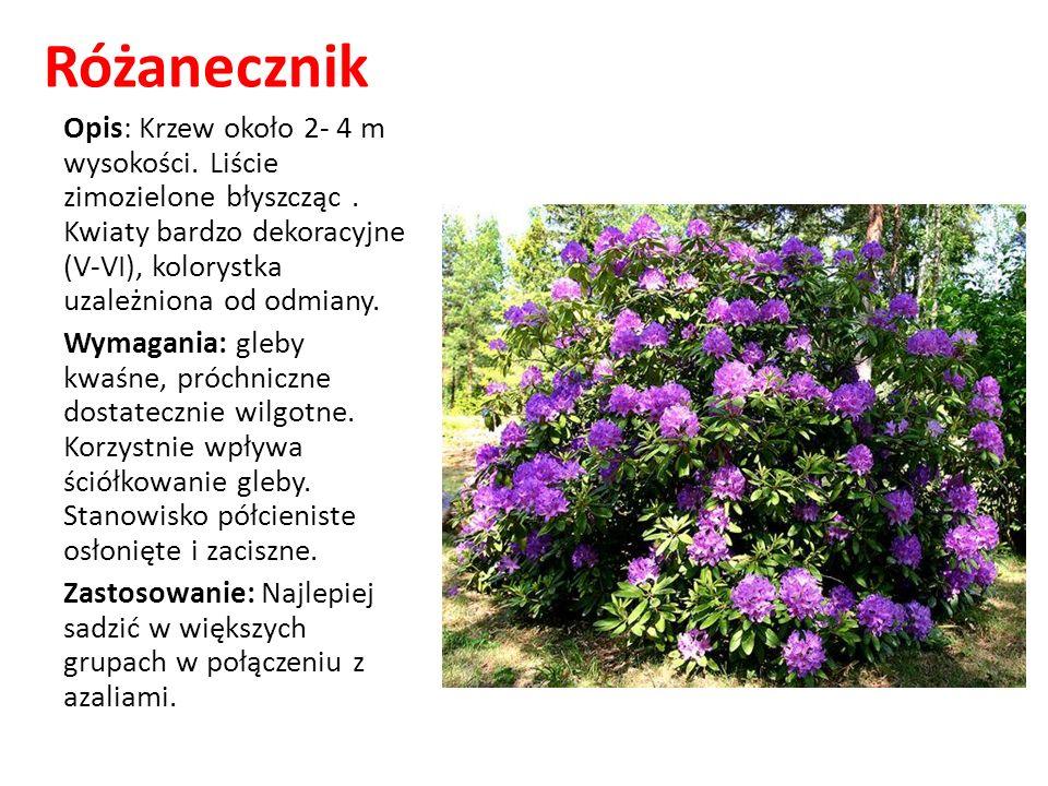 Różanecznik Opis: Krzew około 2- 4 m wysokości. Liście zimozielone błyszcząc . Kwiaty bardzo dekoracyjne (V-VI), kolorystka uzależniona od odmiany.