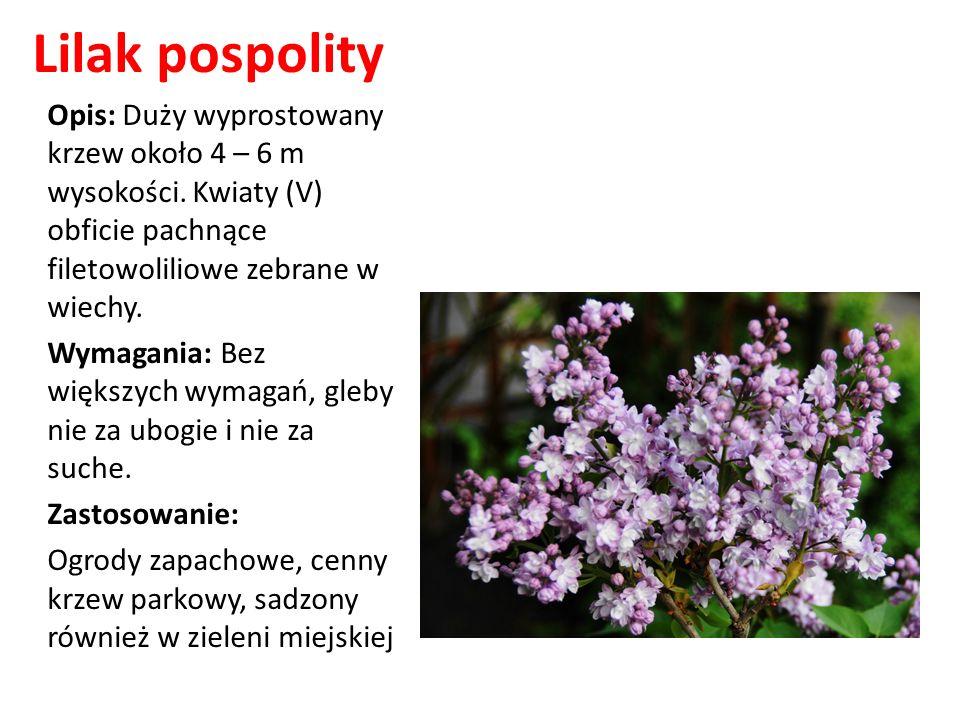 Lilak pospolity Opis: Duży wyprostowany krzew około 4 – 6 m wysokości. Kwiaty (V) obficie pachnące filetowoliliowe zebrane w wiechy.