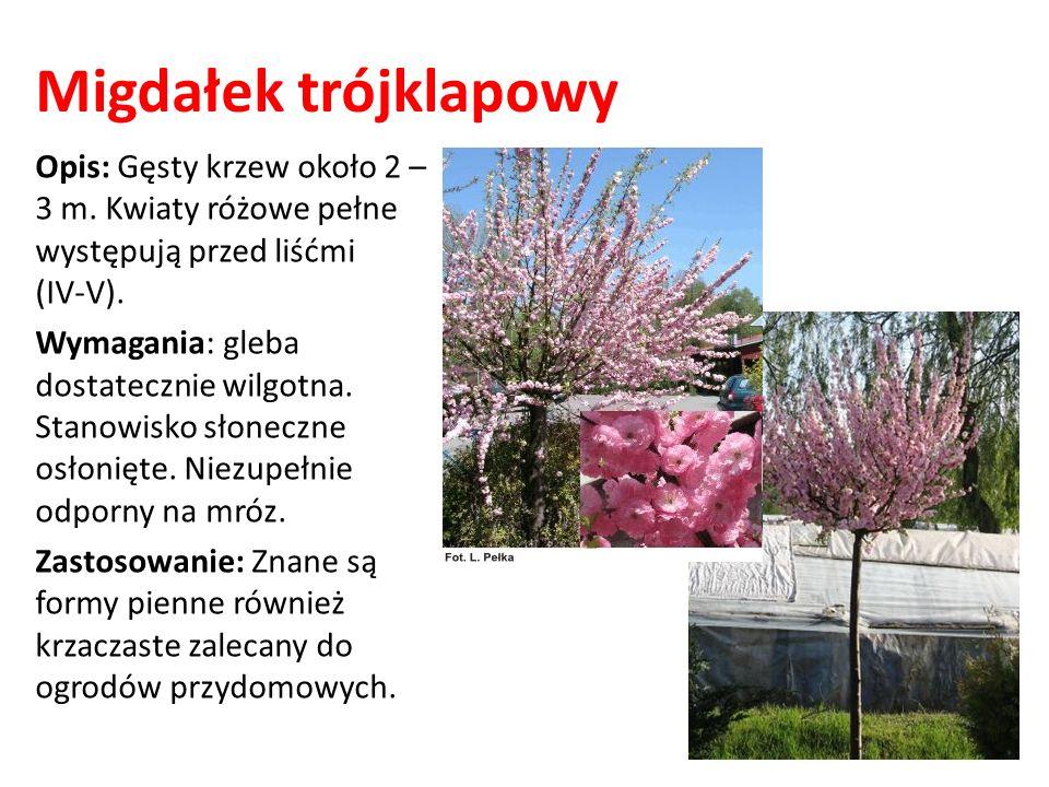 Migdałek trójklapowy Opis: Gęsty krzew około 2 – 3 m. Kwiaty różowe pełne występują przed liśćmi (IV-V).