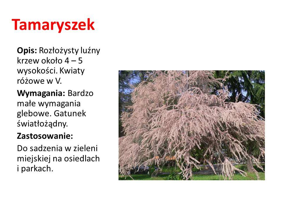 Tamaryszek Opis: Rozłożysty luźny krzew około 4 – 5 wysokości. Kwiaty różowe w V. Wymagania: Bardzo małe wymagania glebowe. Gatunek światłożądny.