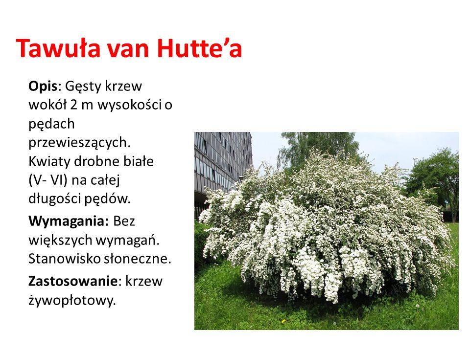 Tawuła van Hutte'a Opis: Gęsty krzew wokół 2 m wysokości o pędach przewieszących. Kwiaty drobne białe (V- VI) na całej długości pędów.