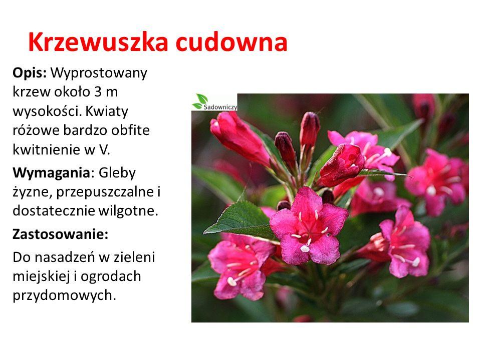 Krzewuszka cudowna Opis: Wyprostowany krzew około 3 m wysokości. Kwiaty różowe bardzo obfite kwitnienie w V.