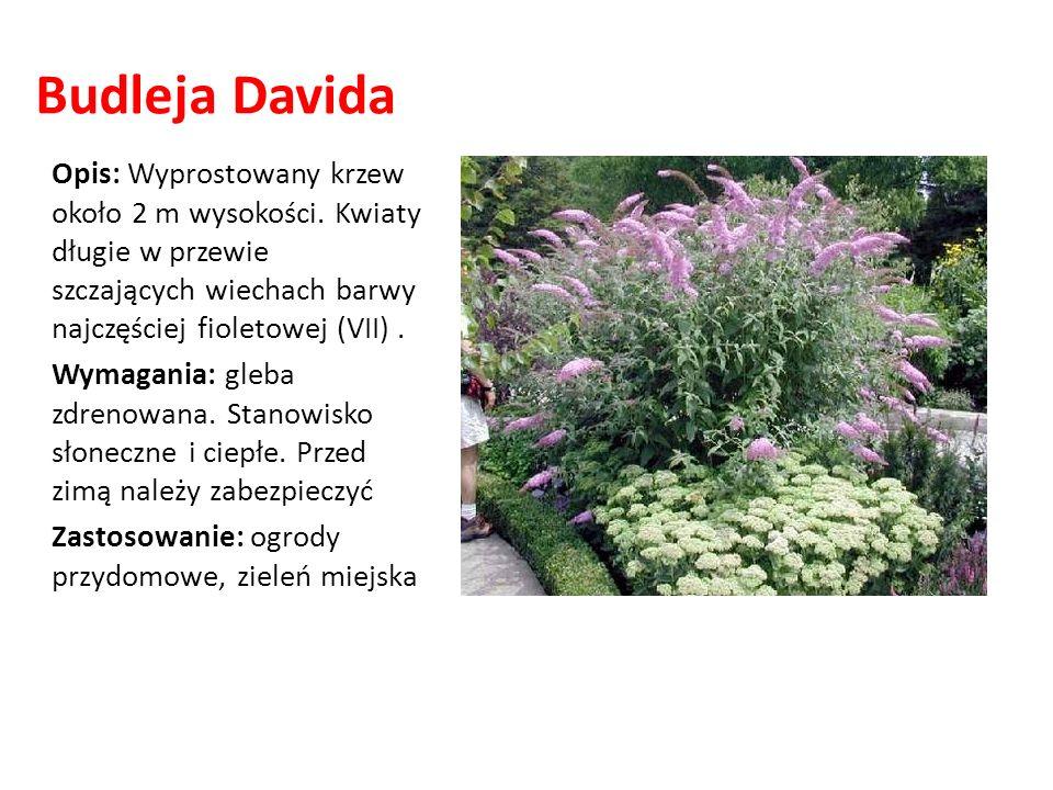 Budleja DavidaOpis: Wyprostowany krzew około 2 m wysokości. Kwiaty długie w przewie szczających wiechach barwy najczęściej fioletowej (VII) .