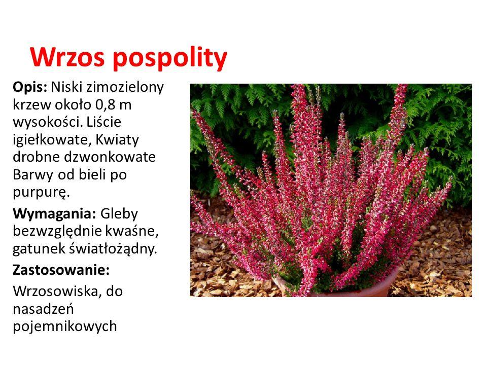 Wrzos pospolity Opis: Niski zimozielony krzew około 0,8 m wysokości. Liście igiełkowate, Kwiaty drobne dzwonkowate Barwy od bieli po purpurę.