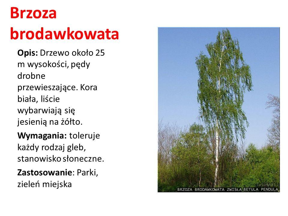 Brzoza brodawkowataOpis: Drzewo około 25 m wysokości, pędy drobne przewieszające. Kora biała, liście wybarwiają się jesienią na żółto.