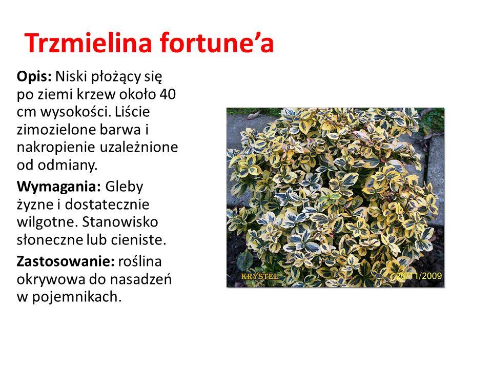 Trzmielina fortune'a Opis: Niski płożący się po ziemi krzew około 40 cm wysokości. Liście zimozielone barwa i nakropienie uzależnione od odmiany.