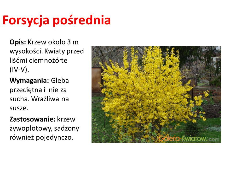Forsycja pośrednia Opis: Krzew około 3 m wysokości. Kwiaty przed liśćmi ciemnożółte (IV-V).