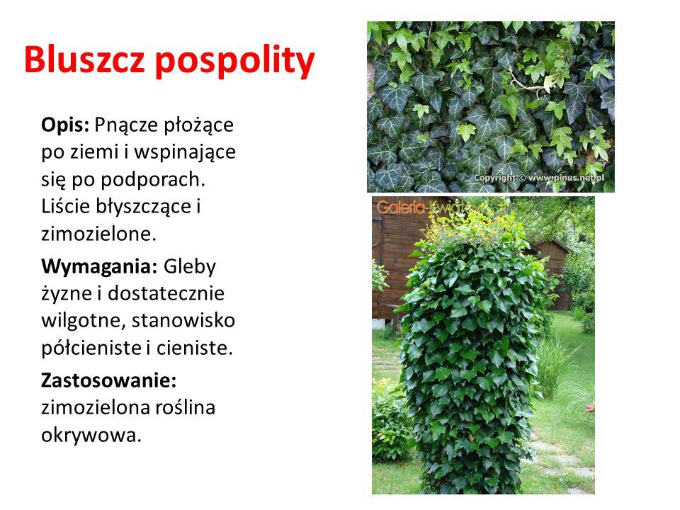 Bluszcz pospolity Opis: Pnącze płożące po ziemi i wspinające się po podporach. Liście błyszczące i zimozielone.