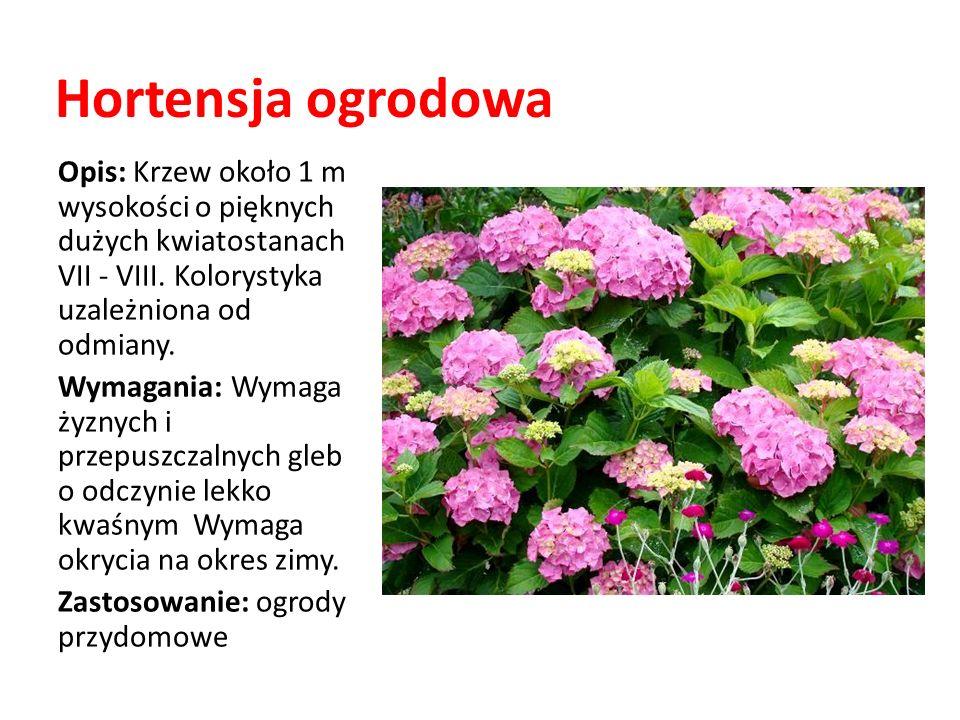 Hortensja ogrodowa Opis: Krzew około 1 m wysokości o pięknych dużych kwiatostanach VII - VIII. Kolorystyka uzależniona od odmiany.